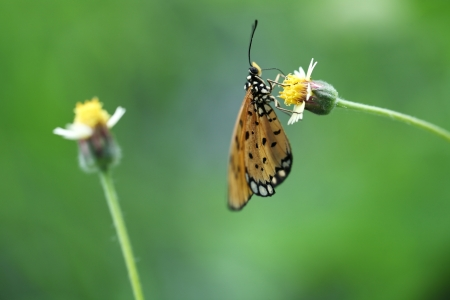 giant sunflower: butterfly on mexican daisy Stock Photo
