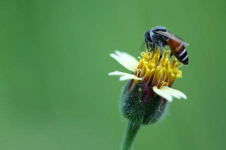 bee on mexican daisy  photo