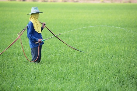 worker spraying pesticide in rice field  Stock Photo