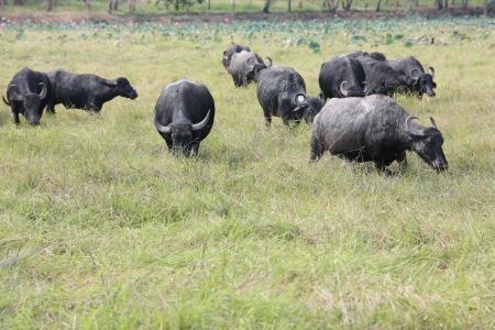 water buffalo eating grass in field  photo