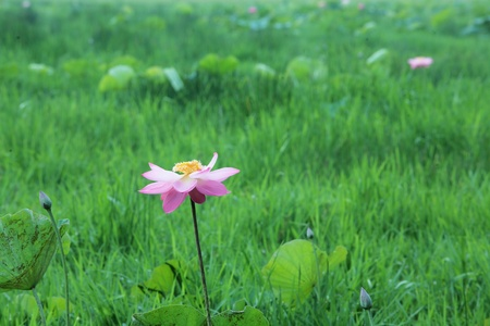 lotus flower blooming with green background  photo