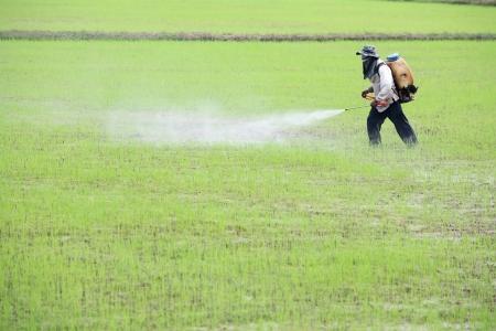 farmer spraying pesticide in paddy field Standard-Bild