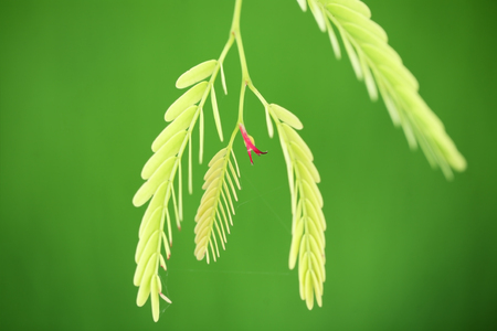 progressively: young tamarind leaf with green background