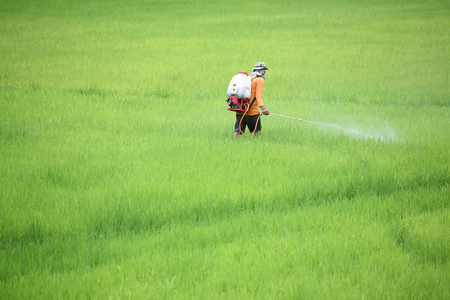 farmer spraying pesticide in paddy field Stock Photo