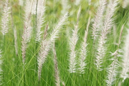 reeds grass  photo