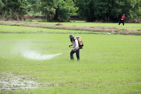 farmer spraying pesticide in paddy field photo