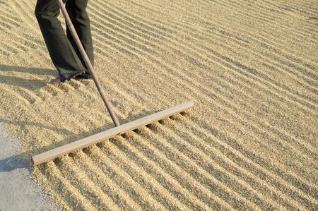 harrow: farmer using wooden harrow for drying rice seed,thadition thai style.