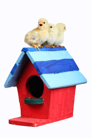 chicks on colorful bird house isolated on white background. photo