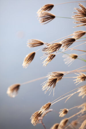 reeds flower  photo