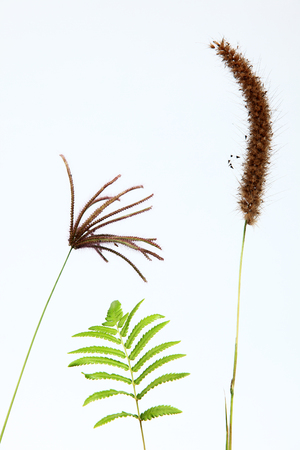 reeds flower and fern isolated on white background  photo