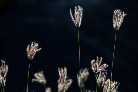 reeds flower with black  photo