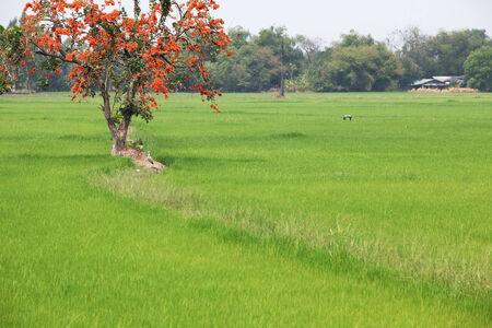 scenic paddy field  photo