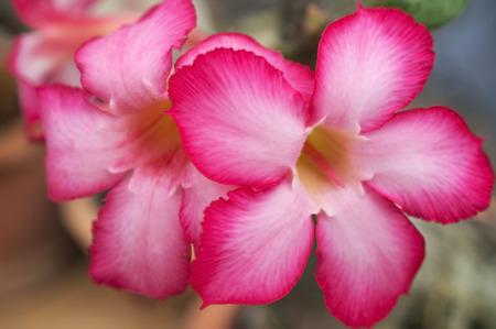 Adenium obesum (Desert Rose; Impala Lily; Mock Azalea) Stock Photo - 26209266