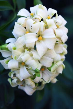 jessamine: Orange Jessamine flower. Stock Photo