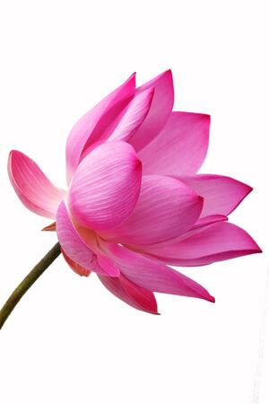 lirio de agua: flor de loto aisladas sobre fondo blanco