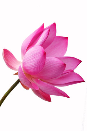 pink lily: lotus flower isolated on white background