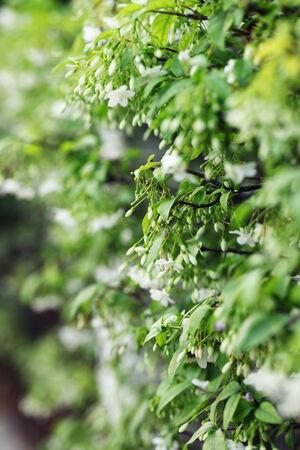 religiosa: close up of tropical fragrant flower(Wrightia religiosa Benth)