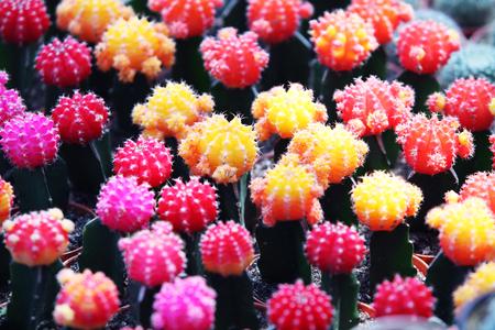 phallus: colorful cactus