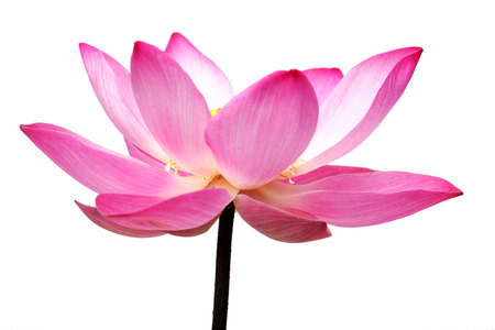 lotus flower isolated on white background.