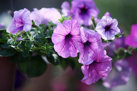 petunias: purple petunia flower Stock Photo