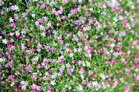 colorful gypsophila flower photo