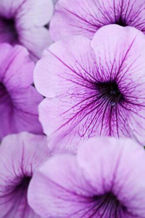 close up of purple petunia flower