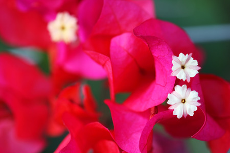 close up of bougainvillea flower photo