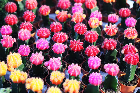 colorful cactus as background photo
