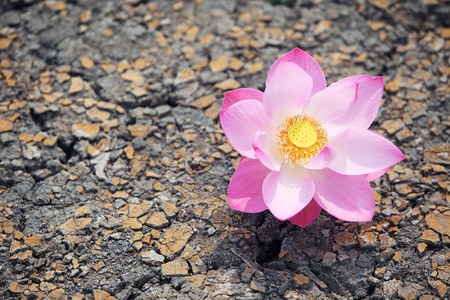 miracle leaf: lotus flower on dry land