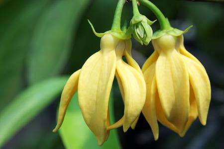 ylang ylang flower as background.