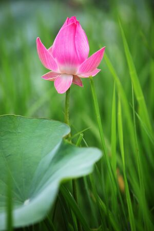 lotus flower with green background photo