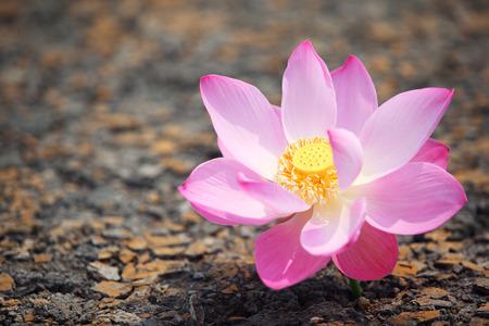 miracle leaf: beautiful lotus flower on cracked soil Stock Photo