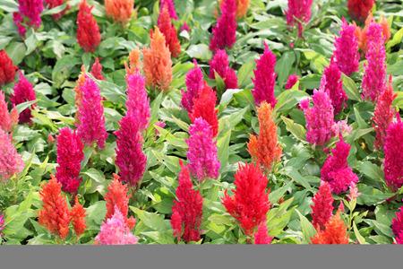 celosia: colorful celosia flower