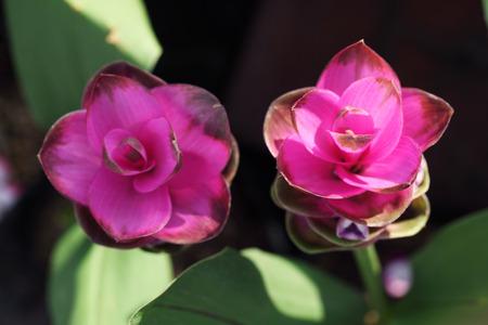 siam tulip flower photo