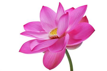 fiore di loto isolato su sfondo bianco.