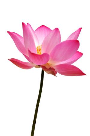 lotus flowe isolated on white background. Stock Photo
