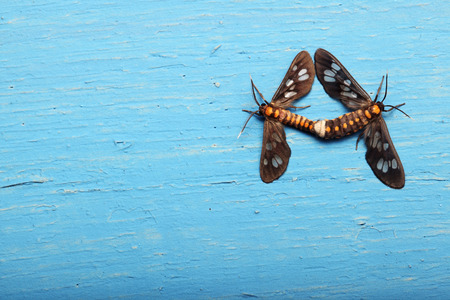 mating: insect mating on grunge wall