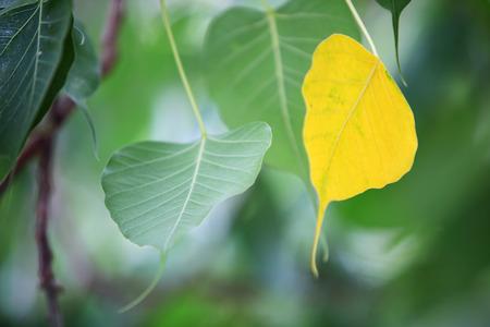 fig leaf: sacred fig leaf background Stock Photo