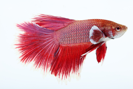 half moon tail: colorful half moon betta isolated on white background. Stock Photo