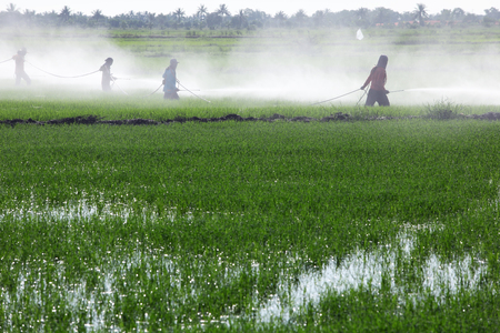 spraying: farmer spraying pesticide in paddy field Stock Photo