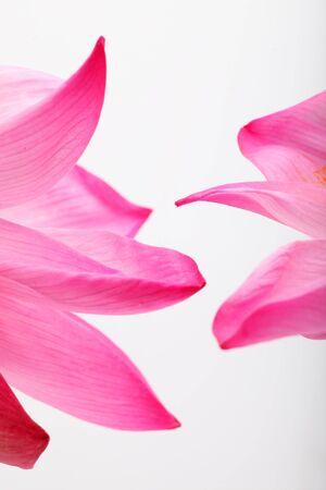 patrones de flores: p�talo de loto sobre fondo blanco.