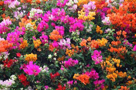 color bougainvillea: colorful bougainvillea flower