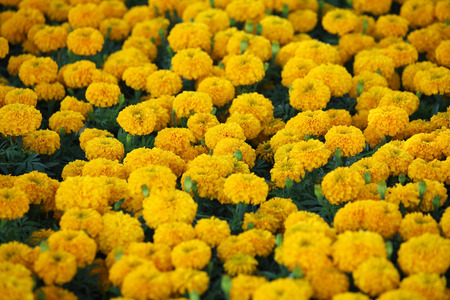 indian pattern: marigold flower Stock Photo