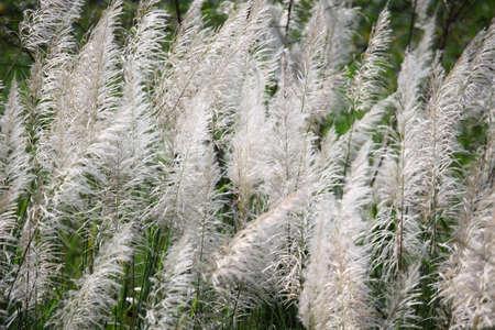 canne: canne sfondo di erba. Archivio Fotografico