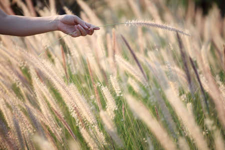 canne: hand holding reeds grass