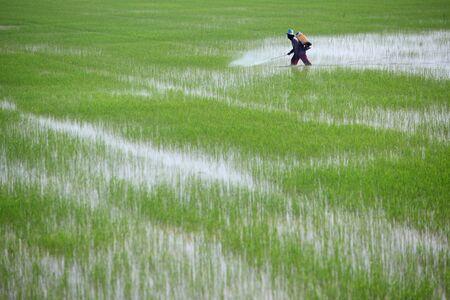 pesticide: farmer spraying pesticide in paddy field Stock Photo