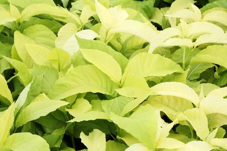 foliage: foliage background Stock Photo