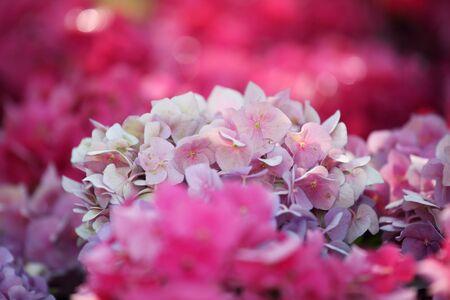 hydrangea flower: colorful hydrangea flower as background