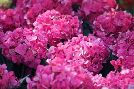 hydrangea flower: colorful hydrangea flower Stock Photo