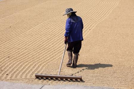 harrow: farmer using harrow to drying rice seed in field